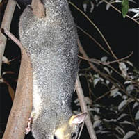Profiting from Invasive Possums