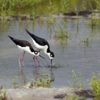 Creating Wetlands for Migratory Birds
