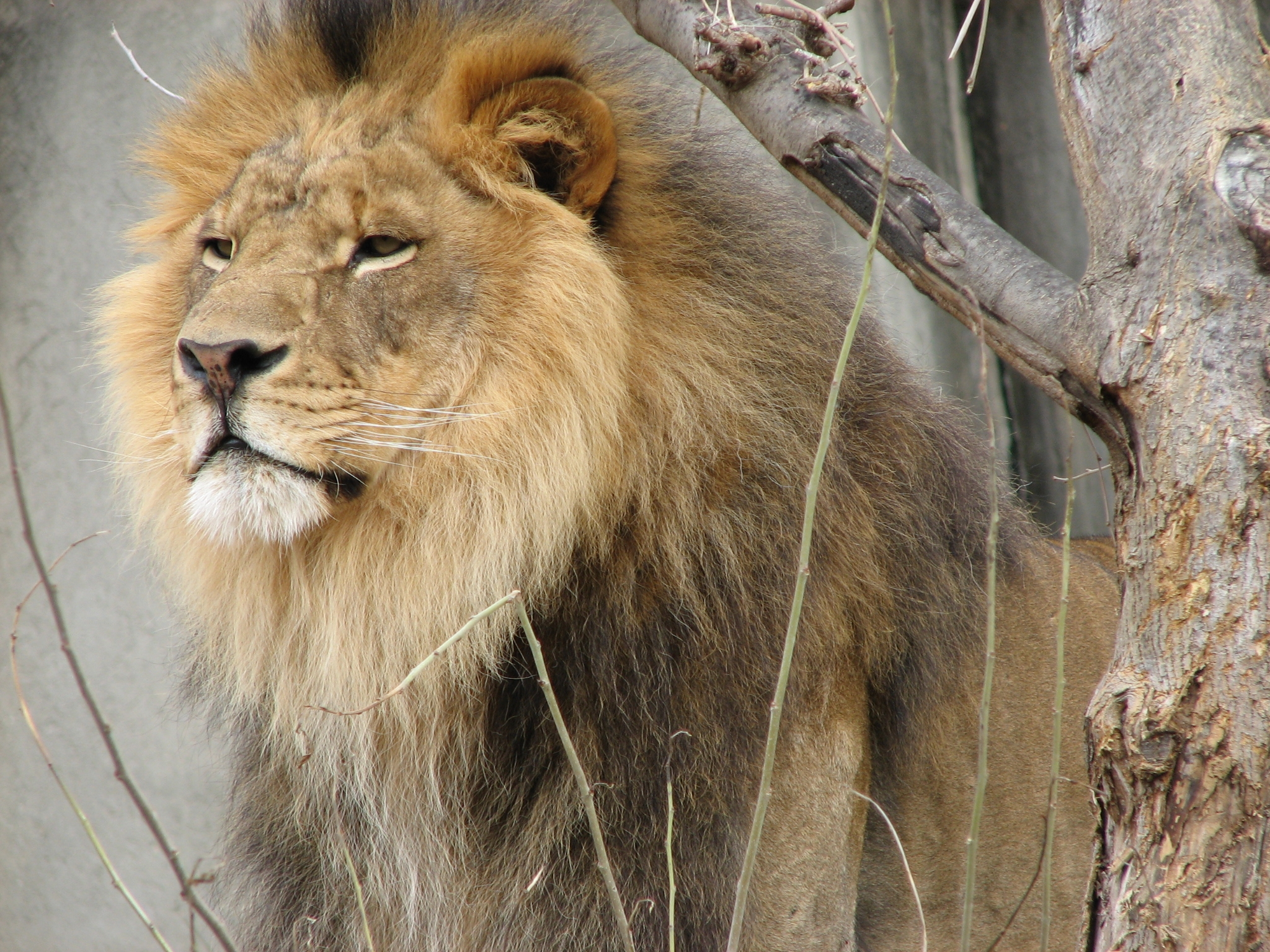 how trophy hunting can save lions