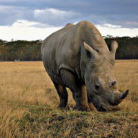 Applying DNA Indexing to Save Rhinos