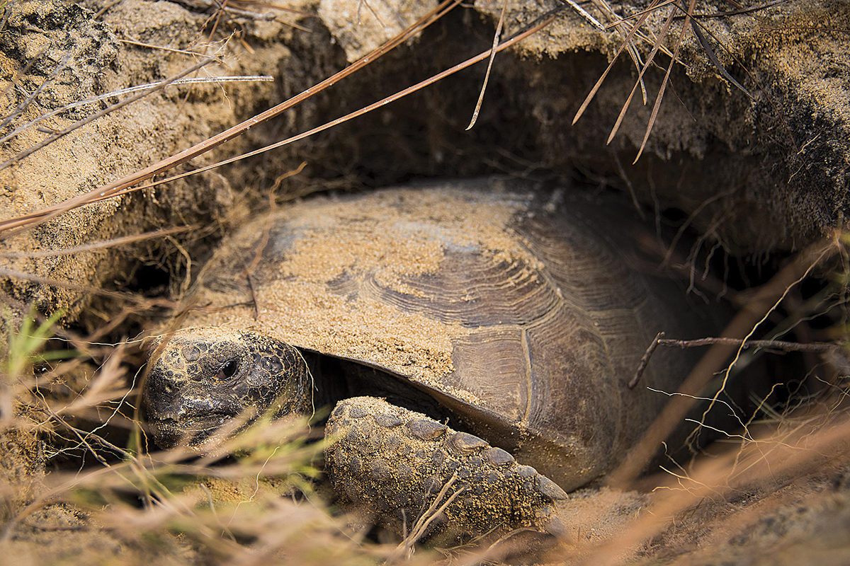 Brown gopher tortoise crawling in burrow in ground