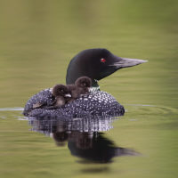 Luring Anglers for Loons