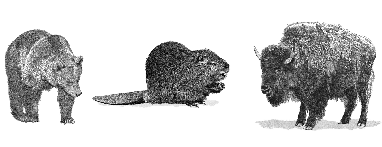black and white photo of bear beaver and bison