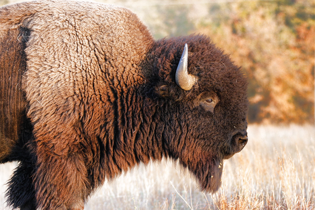 brown hd bison