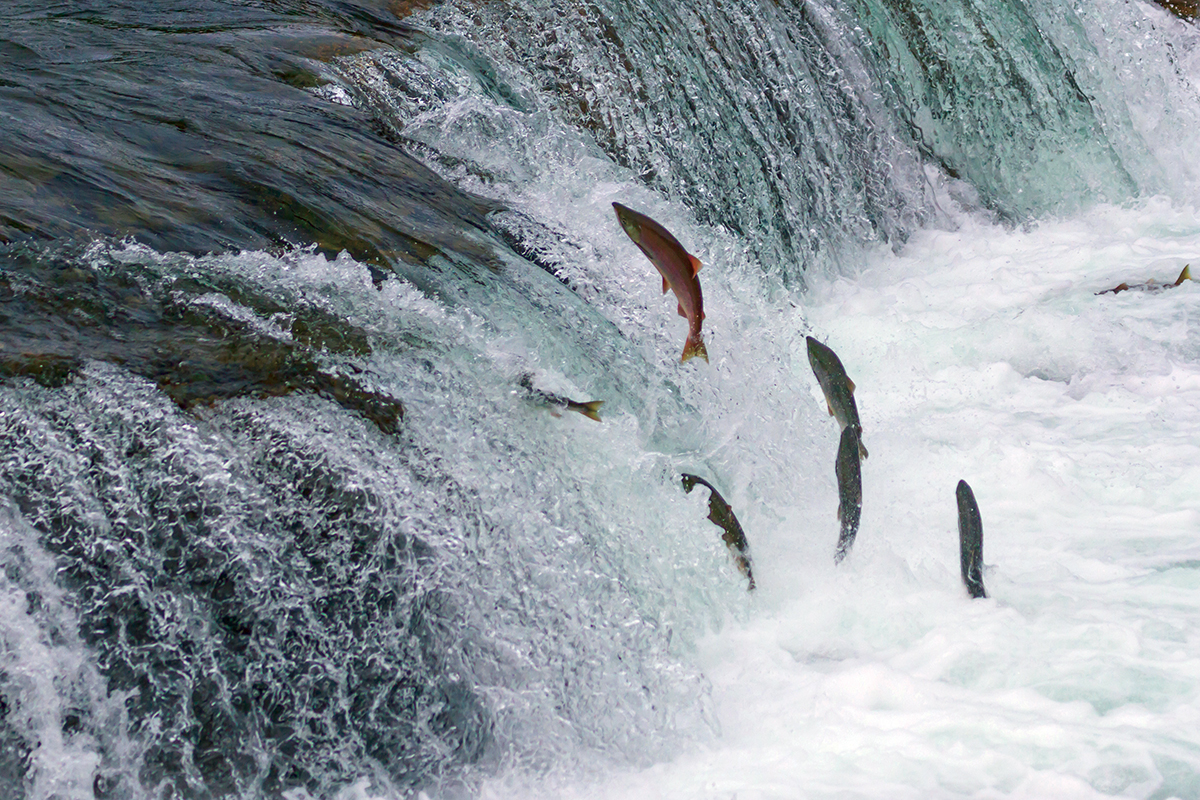 Saving Salmon and Saving Money