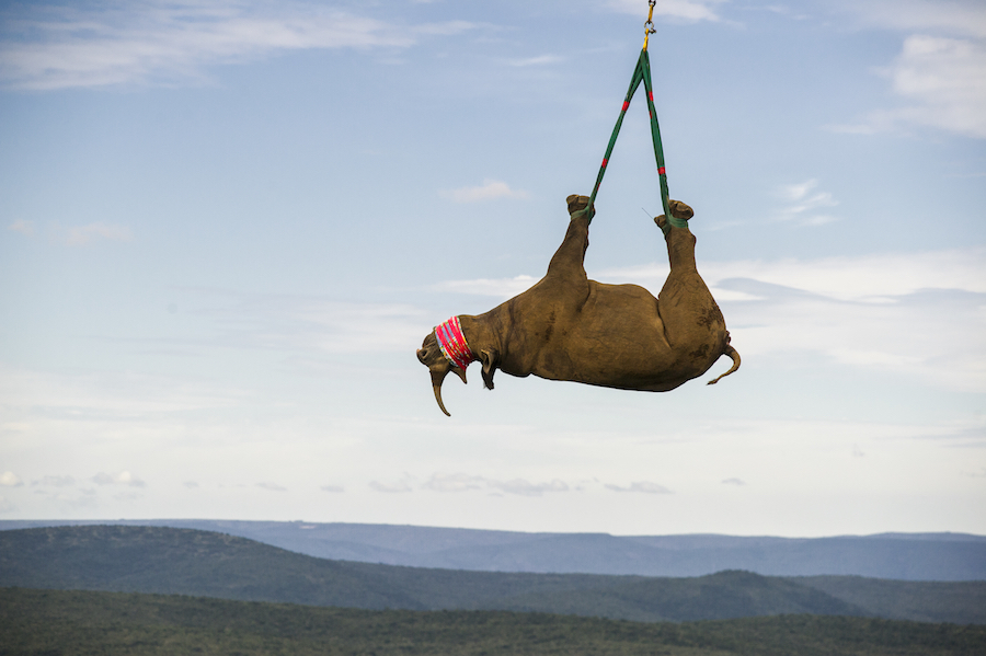 black rhinoceros transported by helicopter