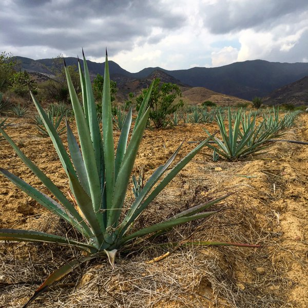 Agave farm, Oaxaca, Mexico. Photo courtesy of Dave Stolte.