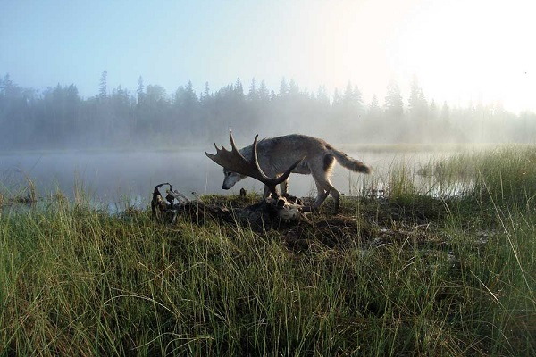 Isle Royale wolf inspects moose carcass, photo courtesy of Dr. Rolf Peterson